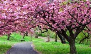 Особенности выращивания японской вишни