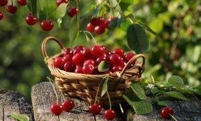 Выращивание самоплодных сортов вишни