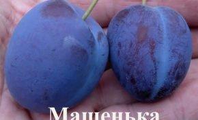 Выращивание сливы сорта Машенька