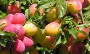Выращивание сливы Ла Кресцент