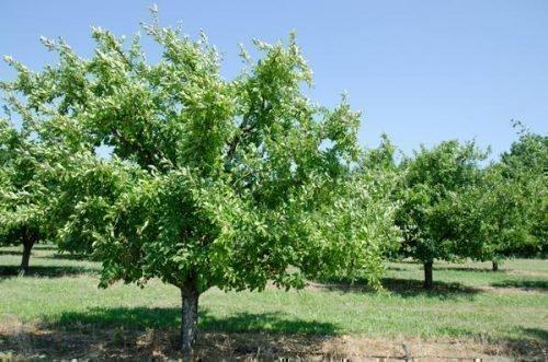 Дерево Малаховской