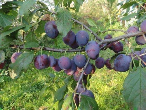 Ветка с плодами