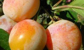 Выращивание алычи Мара
