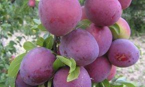 Особенности выращивания алычи Обильная