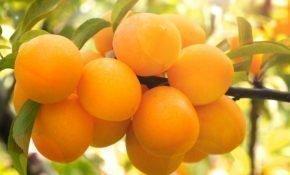Выращивание желтой алычи сорта Павловская