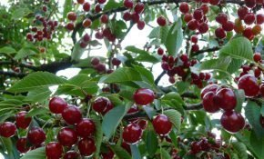 Лечение болезней вишни в Подмосковье