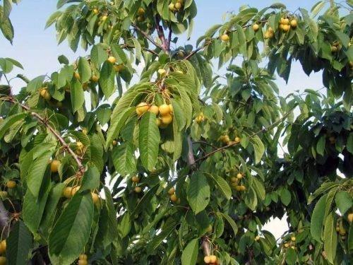 Дерево черешни Росошанской