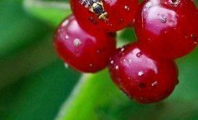 Как избавиться от червей в вишне