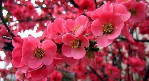 Цветы китайской сливы