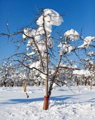 если вишня замерзла можно ее оживить