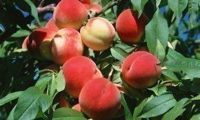 Выращивание персиков и нектаринов
