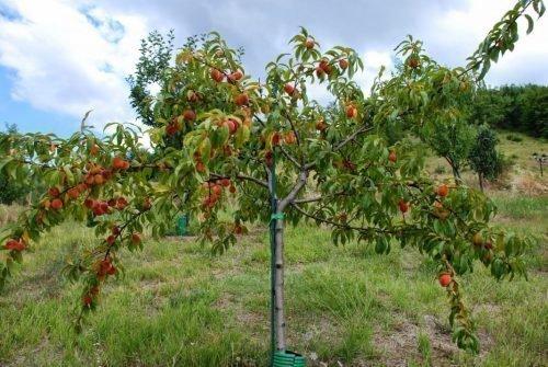 как растут персики