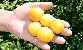 Способы размножения алычи плодами