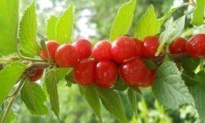 Правила размножения войлочной вишни