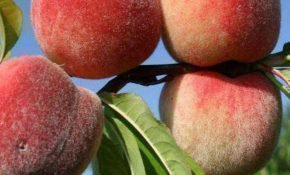 Разведение персиков в Московском регионе