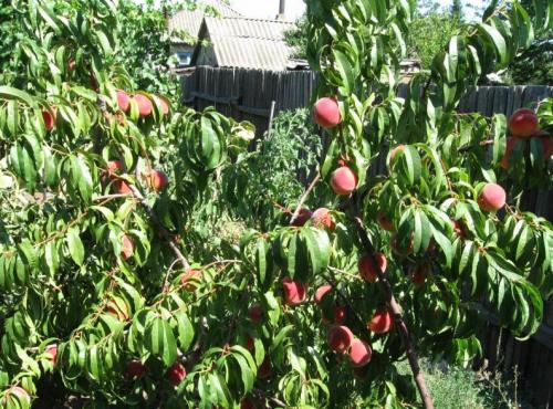 киевский ранний персик