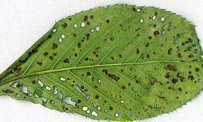 Появление ржавых пятен на листьях вишни