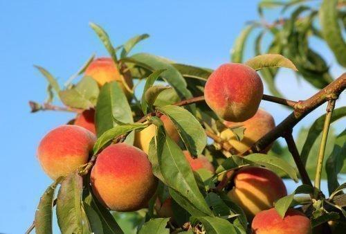 когда персики созревают
