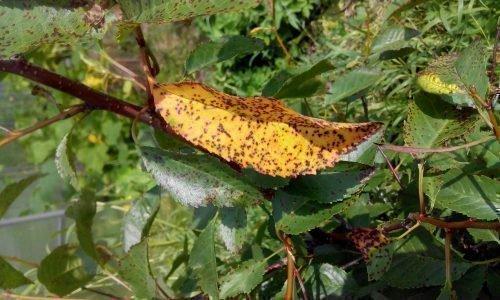листья сливы в дырочку что делать