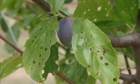 Причины появления дырочек на листьях сливы