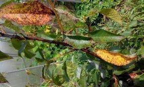 Причины скручивания листьев у черешни