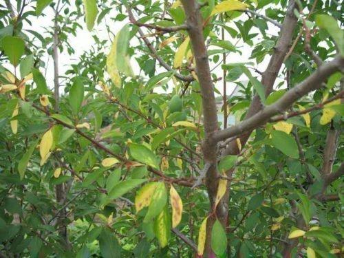 листья у черешни скручиваются листья