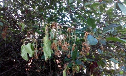 на листьях вишни ржавые пятна