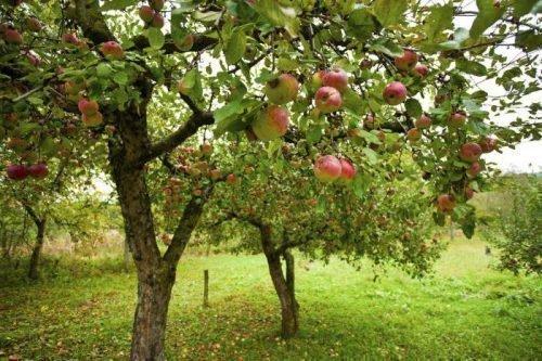 можно ли сажать вишню рядом с яблоней