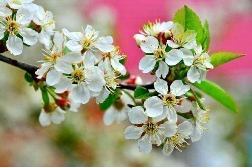 на какой год плодоносит вишня после посадки