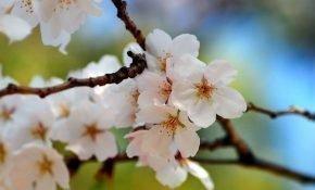 Почему вишня перестала цвести и плодоносить