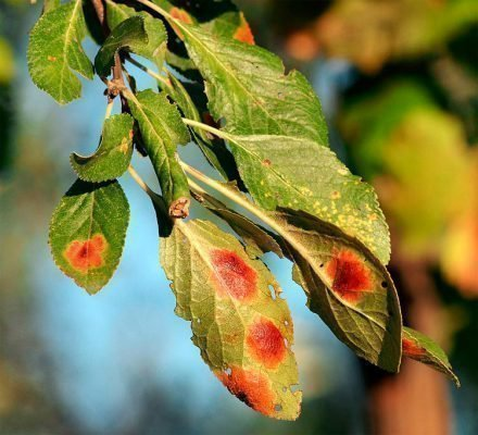 красные пятна на листьях сливы