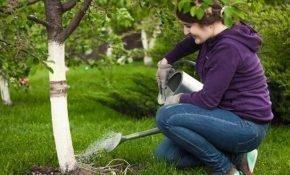 Правила полива вишни
