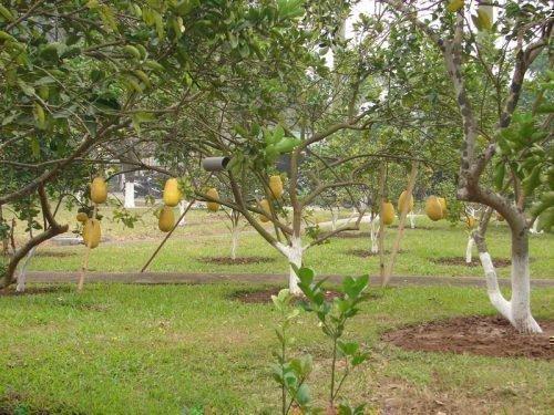 помело дерево