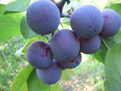 Плоды Малаховской