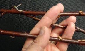 Правила размножения сливы черенками