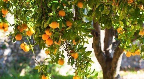 Разновидности апельсиновых сортов