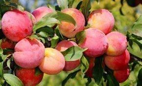 Особенности выращивания красной сливы