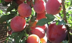 Особенности выращивания сливы Ксения
