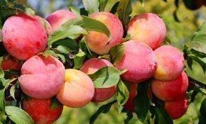 Лучшие сорта крупноплодной сливы