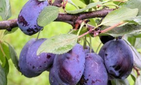 Особенности выращивания сливы Синий Дар