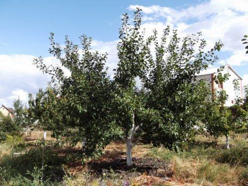 Дерево Волжской красавицы
