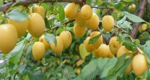Желтая яичная