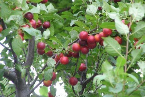 сливо вишневые гибриды
