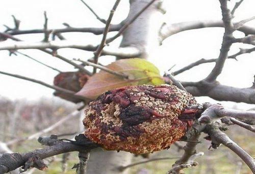 сливы гниют на дереве что делать