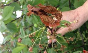 Причина засыхания веток вишни после цветения