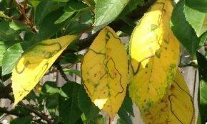 Причины пожелтения и опадания листьев вишни