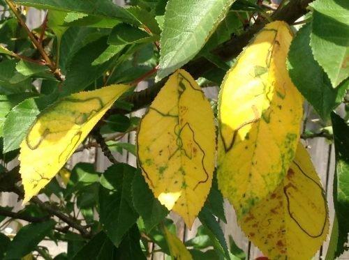 у вишни желтеют и опадают листья