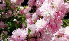 Культивирование вишни Розеа Плена