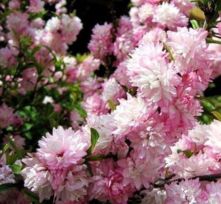 вишня розеа плена железистая