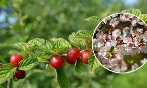 Выращивание вишни Войлочной из косточки